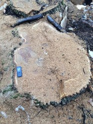 В Днепропетровской области вырубили столетние дубы, занесение в красную книгу (ФОТО)